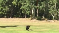 Baby Bear visits Golfer_Moment